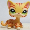 แมวเปอเซียลายเสือสีส้ม ตาสีเขียว