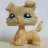สุนัขคอลลี สีครีม ตาสีฟ้า (#1194)