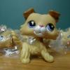 สุนัข Collie Spaniel สีน้ำตาล #2452